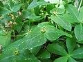 Euphorbia sieboldiana.jpg