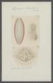 Euphrosyne laureata - - Print - Iconographia Zoologica - Special Collections University of Amsterdam - UBAINV0274 102 03 0009.tif