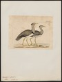 Eupodotis cristata - 1820-1860 - Print - Iconographia Zoologica - Special Collections University of Amsterdam - UBA01 IZ17200037.tif
