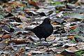 Eurasian Blackbird - Flickr - GregTheBusker.jpg