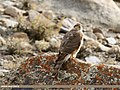Eurasian Sparrowhawk (Accipiter nisus) (24359849838).jpg