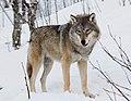 Eurasian wolf 2.jpg