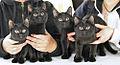 European shorthair-Black kitten -Cat show Forssa 2007-11-10.JPG