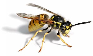 Invertebrate - Image: European wasp white bg 02