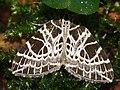 Eustroma reticulata - Netted carpet - Ночная пяденица сетчатая (27080102068).jpg