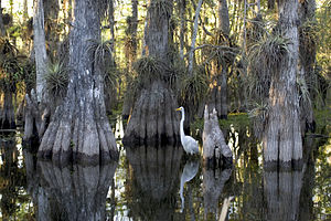 English: A great egret in a cypress grove. Fra...