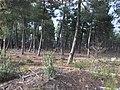 Explotación de resina en el pinar de Peñausende 2.jpg