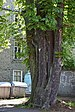 Fünfstämmige Rosskastanie Marburg 2.jpg