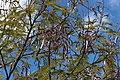 Fabales - Leucaena leucocephala - 3.jpg