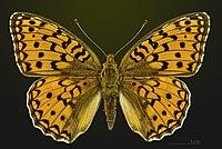 Fabriciana niobe MHNT CUT 2013 3 24 Cahors dorsal.jpg