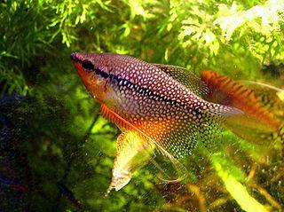 Pearl gourami species of gouramis