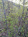 Fagus sp. (Fagaceae) 06.jpg