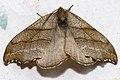 Falcaria.lacertinaria.7110.jpg