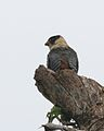 Falcon id views 7 - Flickr - Lip Kee.jpg