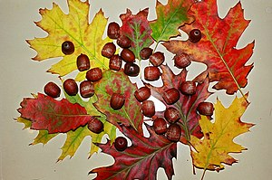 Fall leaves and acorns