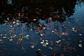 Fall leaves floating water - West Virginia - ForestWander.jpg