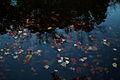 Fall leaves floating water - West Virginia - ForestWander.jpg