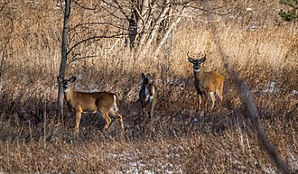 Rouge National Urban Park - White Tailed Deer at the Rouge National Urban Park, one of over 1,700 species of plants, animals, and fungi located within the Park.