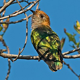 Female Asian Emerald Cuckoo (Chrysococcyx maculatus) from rear.jpg
