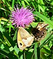 Female Meadow Brown on Lesser Knapweed - geograph.org.uk - 921978.jpg