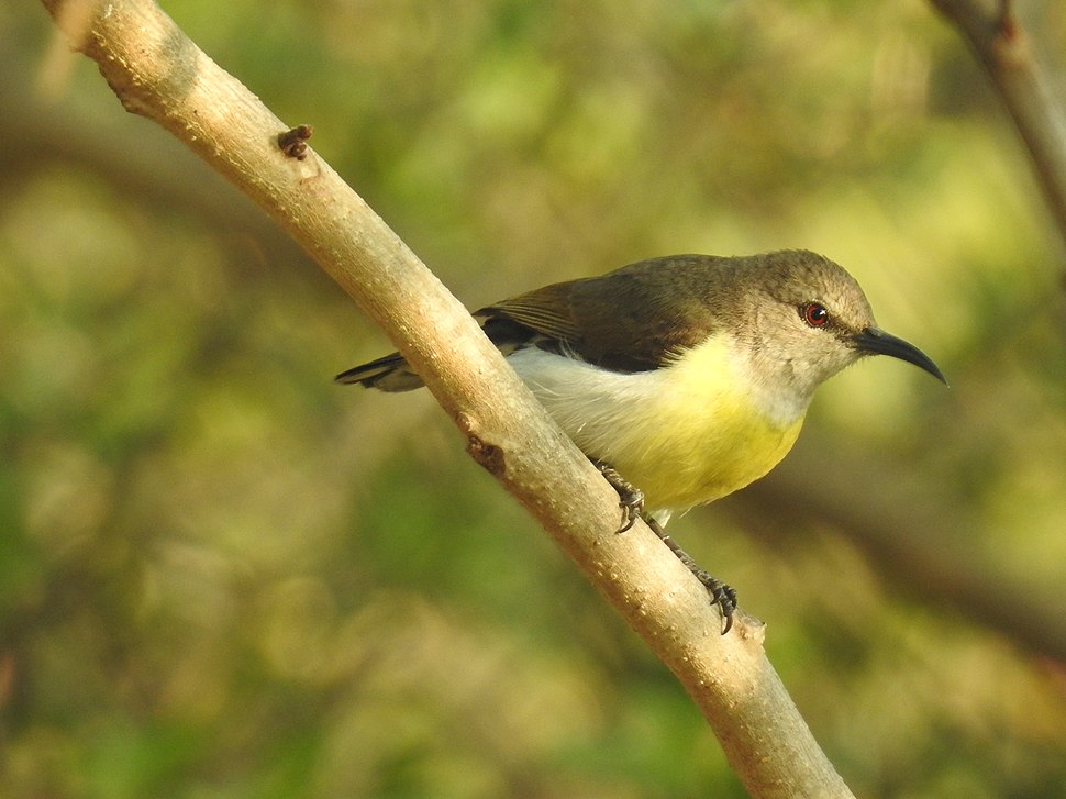 Female Purple-rumped sunbird in the backyard of an empty plot in Judicial Layout, Bangalore. 29 March 2016