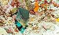 Female Reticulate Boxfish (Ostracion solorensis) (6055995923).jpg
