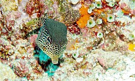 Female Reticulate Boxfish (Ostracion solorensis) (6055995923).jpg