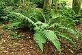 Ferns, Hillsborough forest - geograph.org.uk - 1506588.jpg
