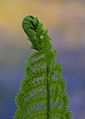 Ferns unfolding - 3 (2486172222).jpg