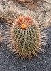 Ferocactus echidne 03.jpg
