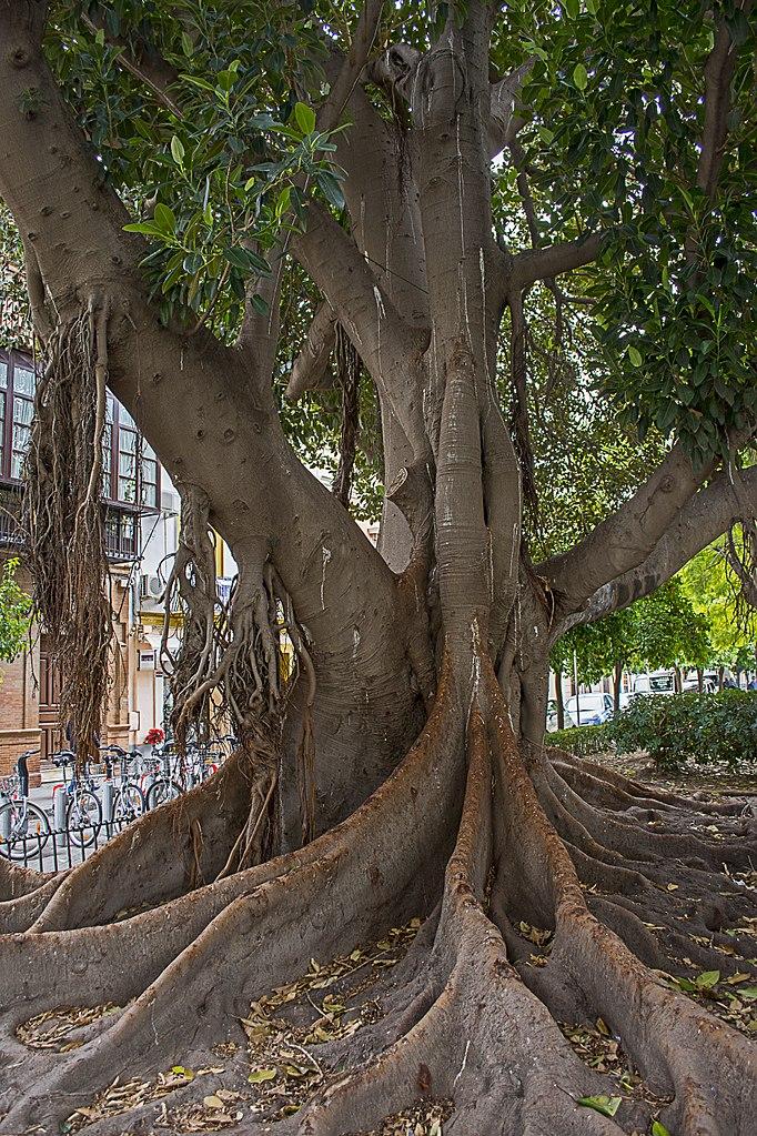 Ficus macrophyllia sur la Plaza del Museo à Séville.