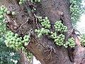 Ficus racemosa fruits at Makutta (7).jpg