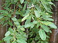 Ficus salicifolia, lower, Universiteit van Pretoria.jpg