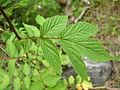 Filipendula ulmaria (2483370281).jpg