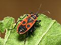 Fire Bug (15978257961).jpg