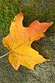 Fire Leaf (2920858488).jpg