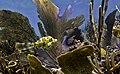Fish in corals, Culebra Puerto Rico.jpg
