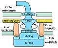 Flagellum diagram.jpg