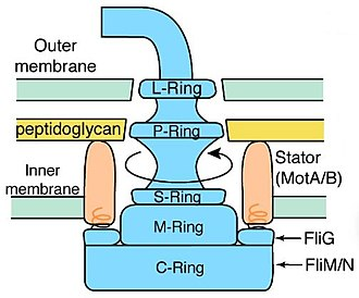 L ring - A diagram of a bacterial flagellum