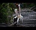 Flamingos in Ragunan Zoo Jakarta Indonesia.jpg