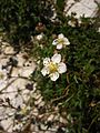 Fleur blanche des Pyrénées.jpg