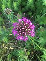 Fleur de Crucianelle (Phuopsis stylosa).jpg