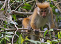 Flickr - Rainbirder - Toque Macaque (Macaca sinica aurifrons).jpg