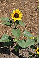 Flickr - USCapitol - Sunflowers on Capitol grounds.jpg