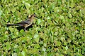 Flickr - ggallice - Grackle.jpg