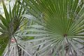 Flickr - ggallice - Saw palmetto.jpg