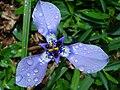 Flor azul (2982767504).jpg
