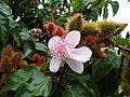 Flor y Fruto de Onoto (Bixa orellana).JPG