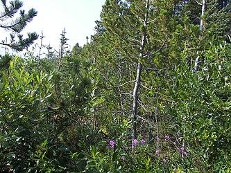 Flora on Klondike Highway, British Columbia 5.jpg