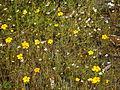 Flores amarillas y blancas del Parque Ecológico de la Ciudad de México.JPG